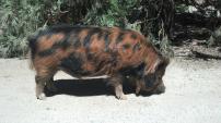 Pavarotti, kunkune pig, California