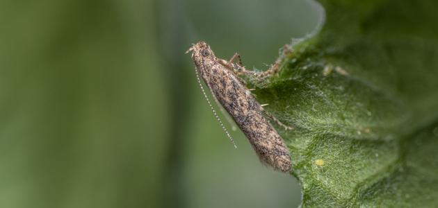 طرق مكافحة حشرة توتا ابسلوتا..طرق فعالة وغالبا ما تقضي عليها