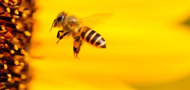 ما هي فوائد العسل و الحقائق الغريبة عنه وماهي المادة التي لا تفسد!