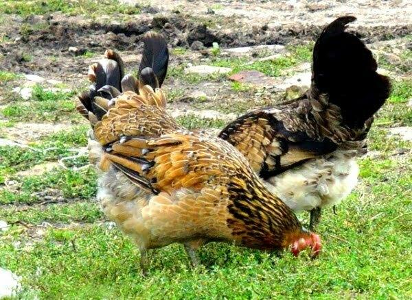 بعض الأطعمة التي تتضمن الفيتامينات الضرورية للدجاج