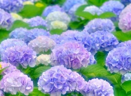 紫陽花 花言葉 色別