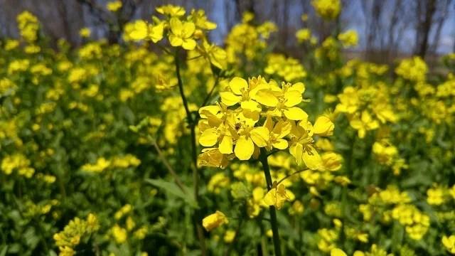 大潟村 菜の花まつり