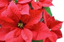 ポインセチア 花言葉 意味