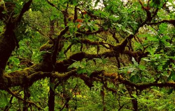 Moss and lichen shroud the branches of an oak tree. Lichen cannot be found except in extremely unpolluted environments
