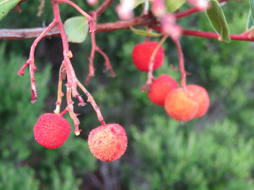 arbutus-fruit