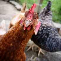 Wie man mit einem Australian Shepherd Hühner eintreibt (Video) 2
