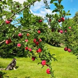 Pflaumenbaum im Garten