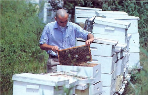 Five tons of honey a year come from fifty hives Five tons of honey a year come from fifty hives