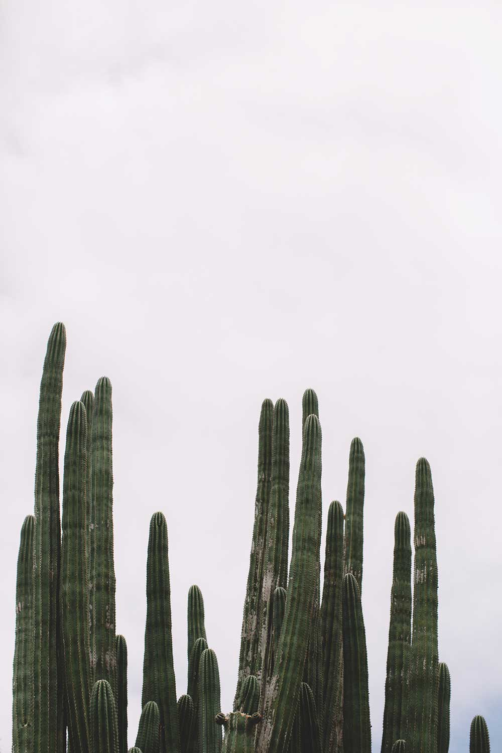 The top of cacti