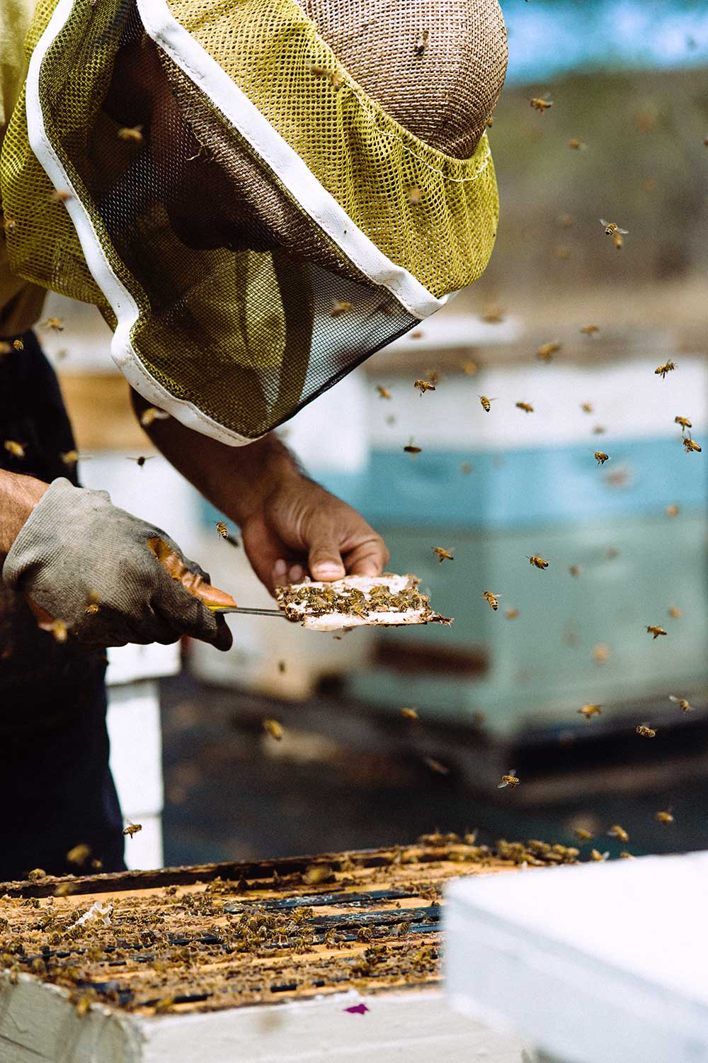 Man in a protective helmet with bees flying around him carves out a piece of honeycomb