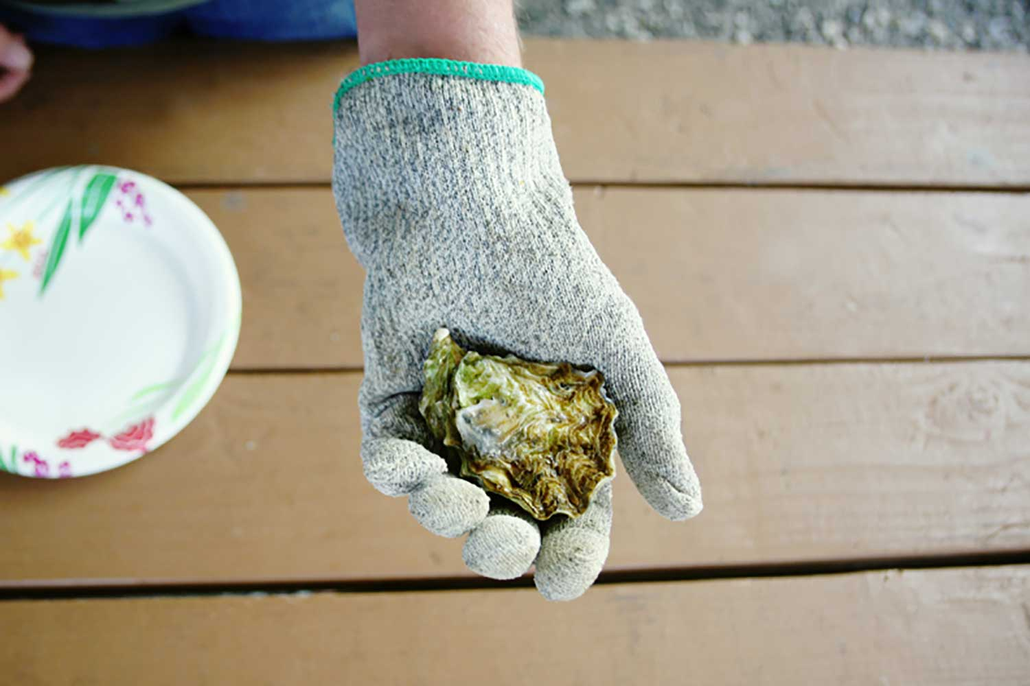 Glove covered hand holding an oyster
