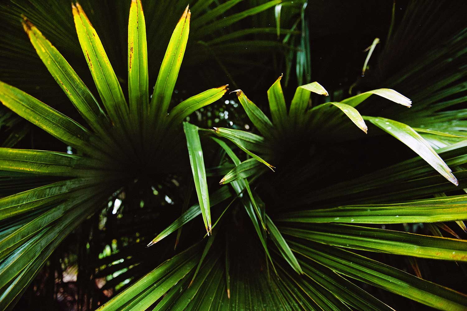 Close up image of palm leaves
