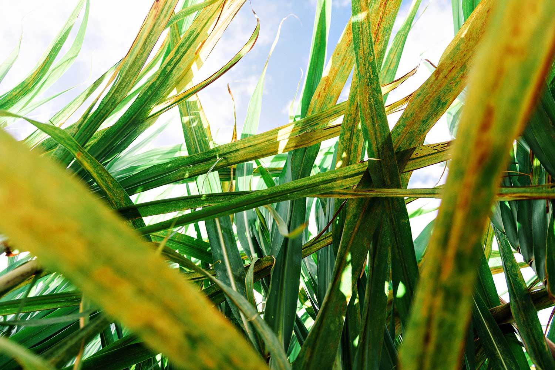 Sugar cane leaves