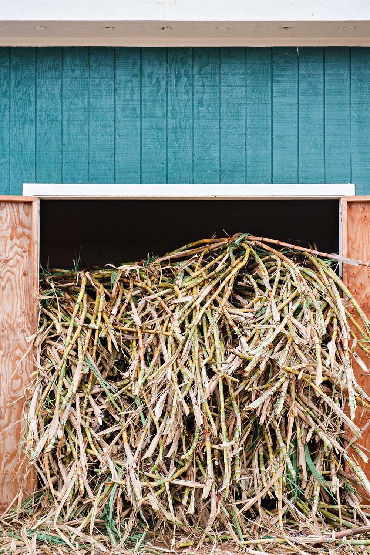 Cut sugar cane