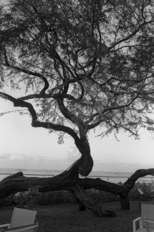 Black and white image of kiawe tree