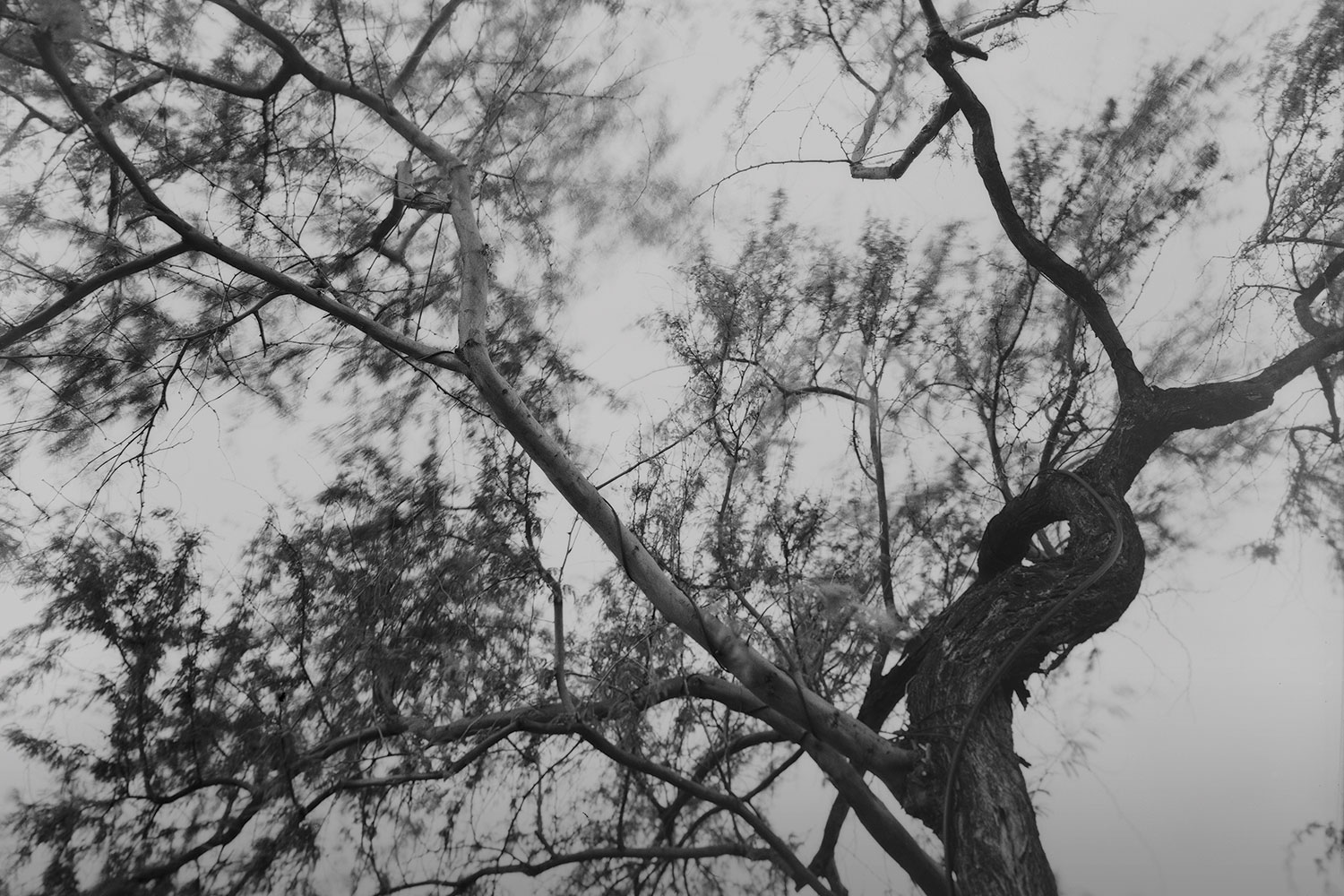Black and white photo of kiawe tree branches
