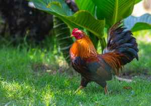red and black rooster on green grass