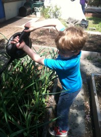 One of the 3rd graders waters the garlic with gusto!