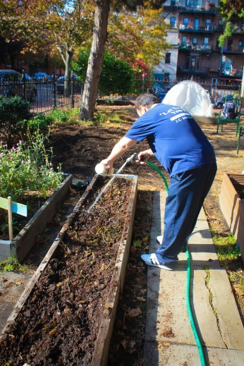 Bills waters garden with fish fertilizer