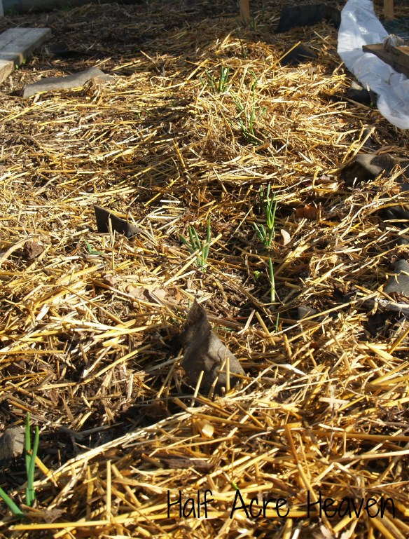 A row of onions has overwintered and is stretching arms high to meet the rising sun.