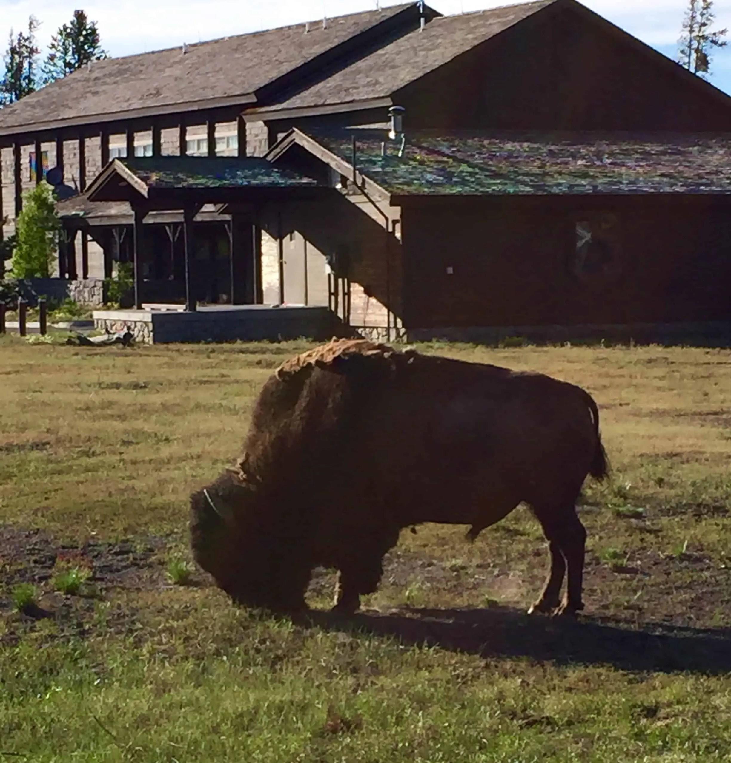 bison_old_faithful