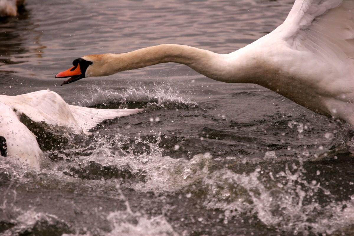 A swan attacking another swan