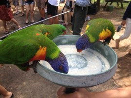 Feeding the lorakeets