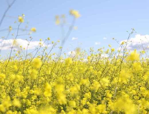field of spring rapeseed