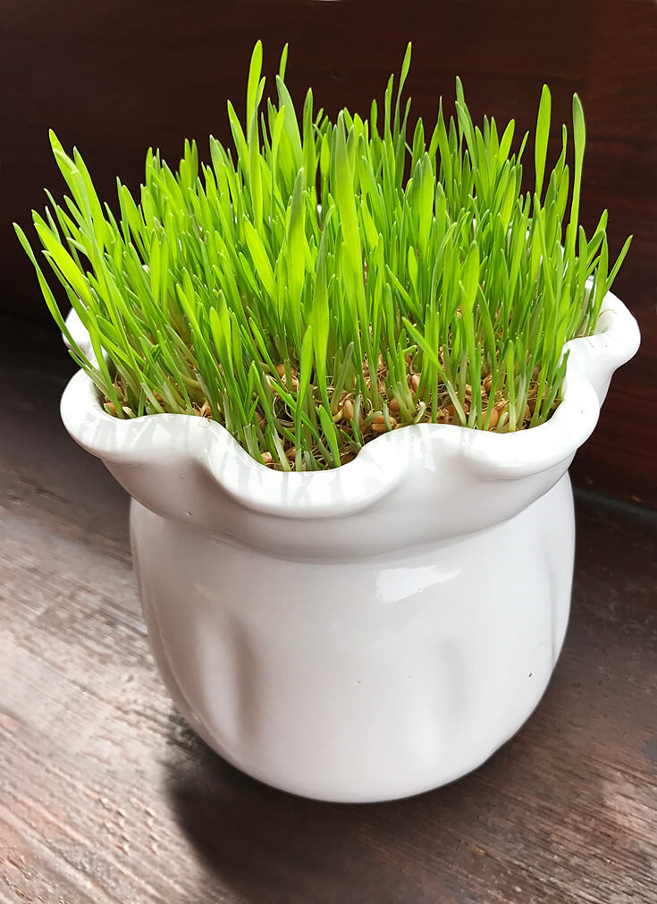 How to Grow Wheatgrass with easy printable instructions | Halfpint Design - Wheatgrass berries: Day 7 It really is grass! This would be enough to display right here but just wait....it gets better!