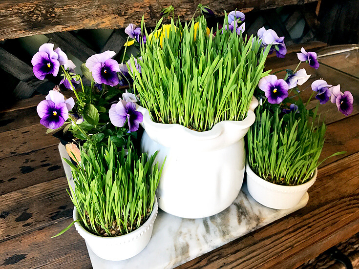 How to Grow Wheatgrass with easy printable instructions | Halfpint Design - I love the versatility of wheatgrass as decor and nutrition! I grow it several times a year.