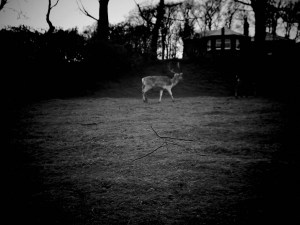 Stag at a deer farm