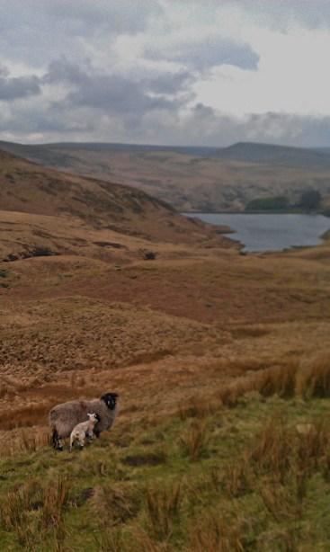 Wessenden Lamb