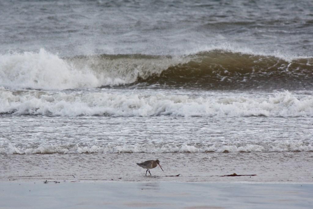 northumberland coastal path near Beadnell, Bar-tailed godwit