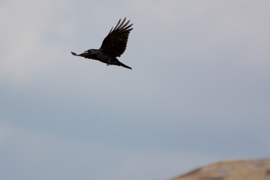 Carrion crow on Marsden Moor