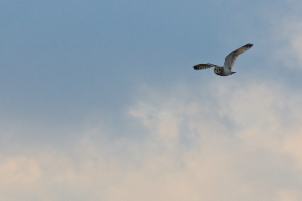 Short Eared owl on Marsden Moor as seen by halfwayhike hike blog