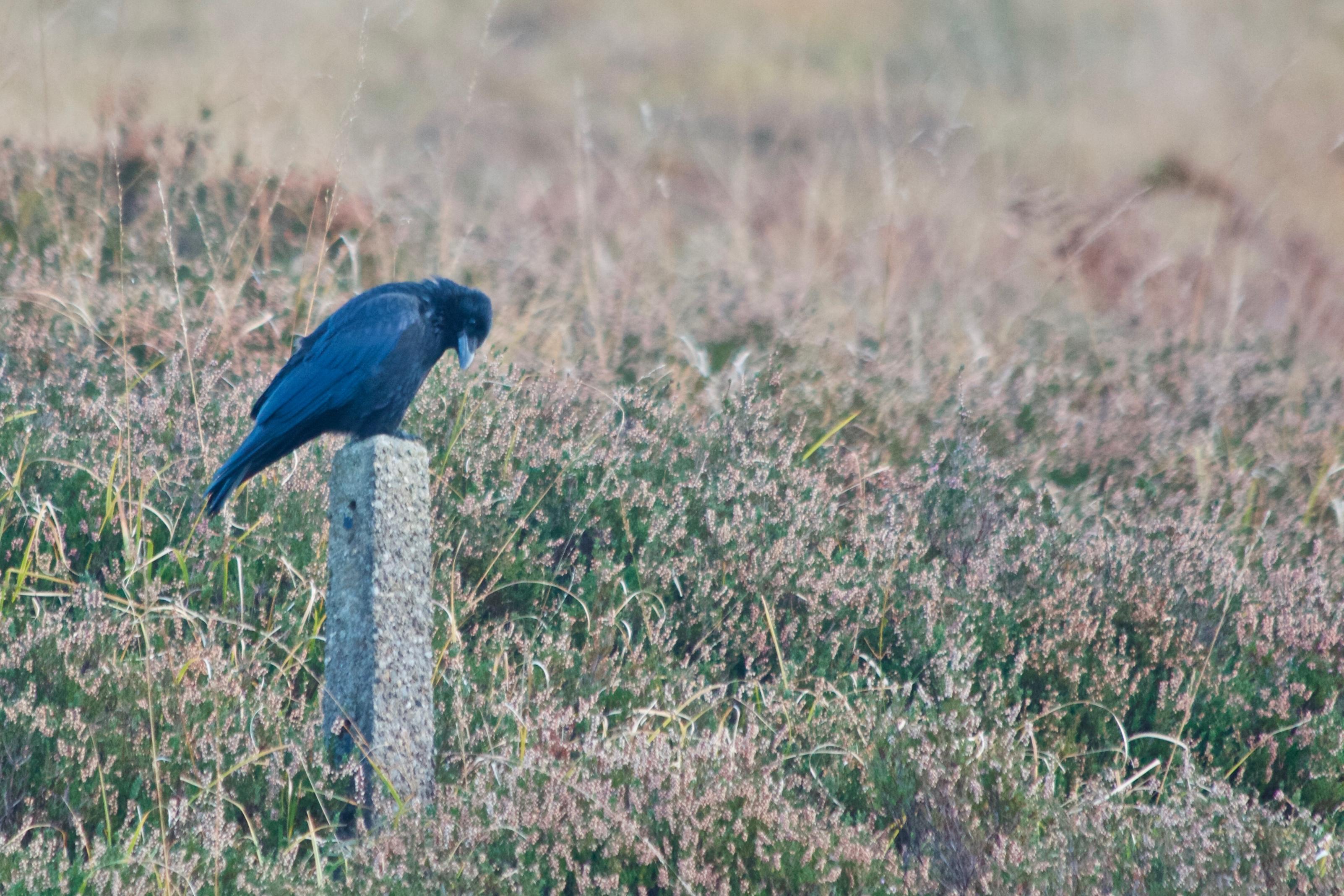 Carrion Crow on Marsden Moor