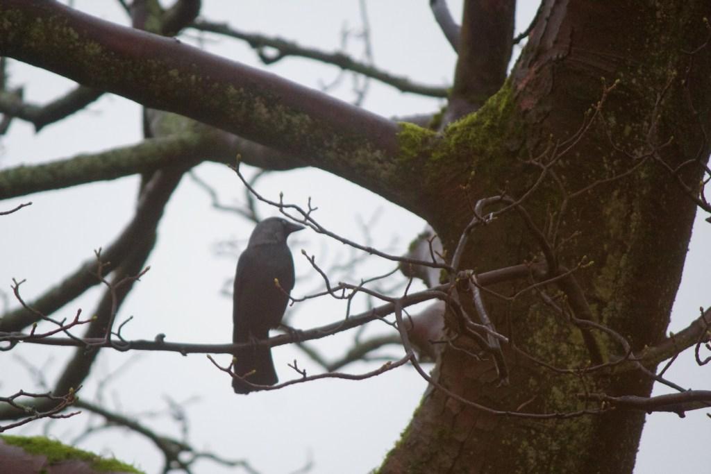 Jackdaw Crow Hill Marsden