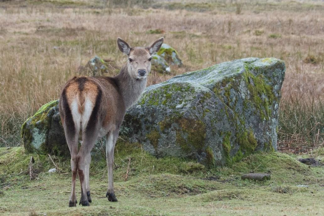 Red Deer Glen Coe West Highland Way walk