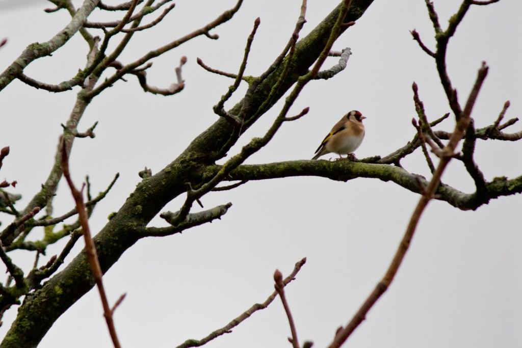 Goldfinch on the edge of Scout Moor Marsden