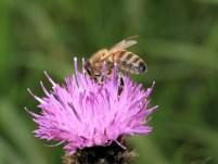Honey_Bee_David_G_Green.jpg