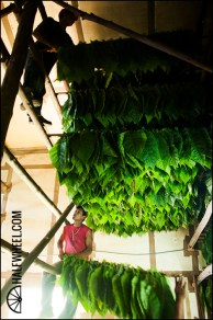 Workers put the poles containing individual tobacco leaves up to dry.