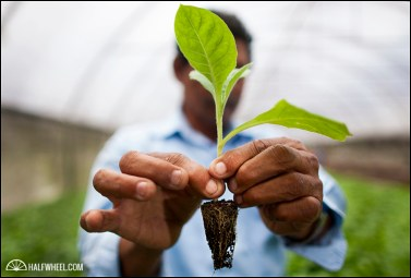 A tobacco seedling.