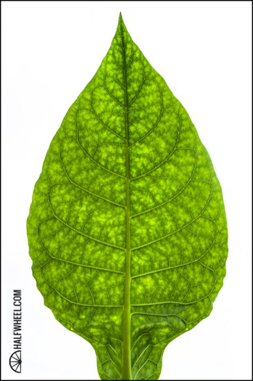 An almost full grown tobacco leaf.