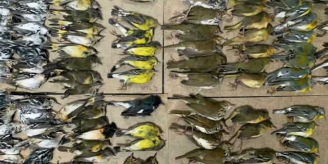 Yüzlerce kuş New York gökdelenlerine çarparak öldü