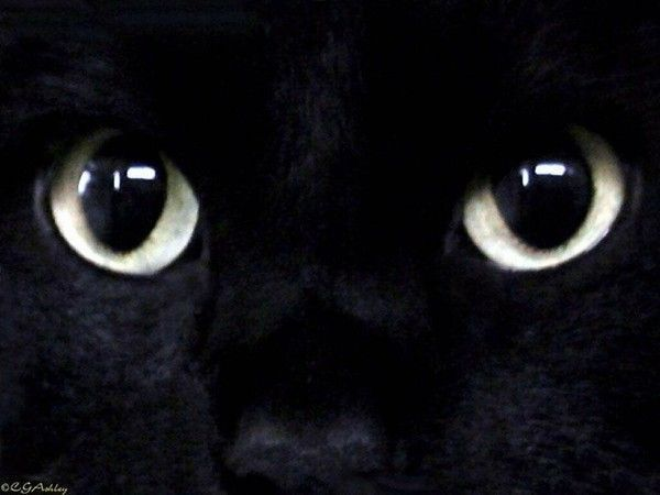 regard de chat noir