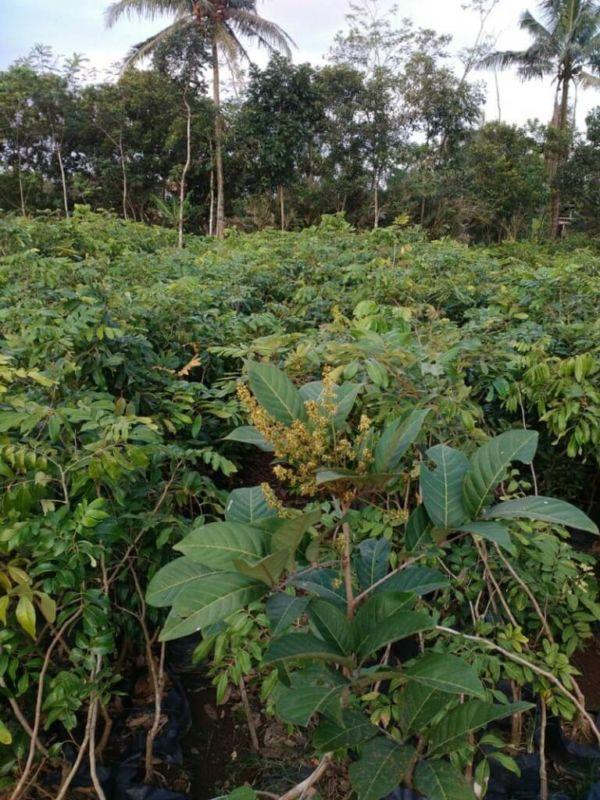 Jual Bibit Durian Cepat Buah
