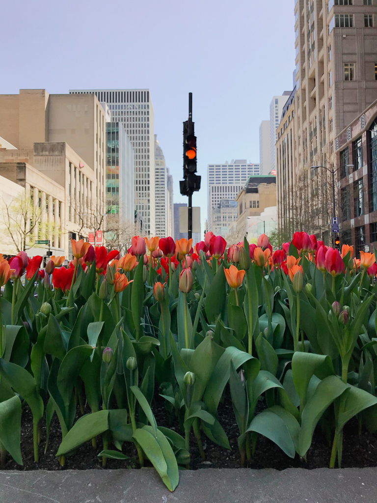 Tulips on Michigan Avenue, Chicago