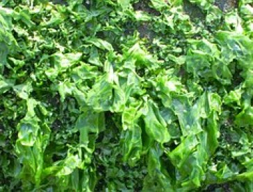 seaweed-672981__180