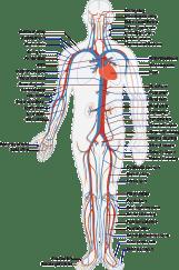 circulatory-41523_640