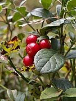 cranberries-112151__180